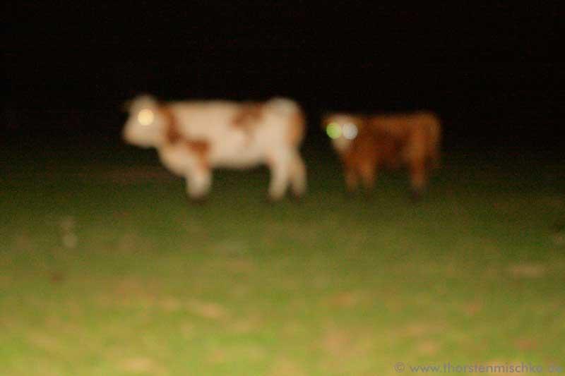 Foto: spooky cows © www.ThorstenMischke.de Fotodesign Kiel